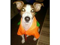 Jack Russell For Re-homing