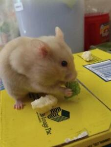"""Young Female Small & Furry - Hamster: """"Holly"""""""