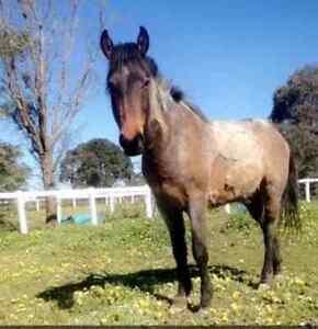 Brumby gelding for sale Ballarat Central Ballarat City Preview