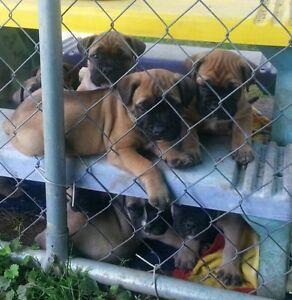 Mastiff /Bulldog puppies