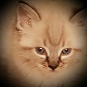 Himalayan kittens dewormed defleaed healthy cuddly
