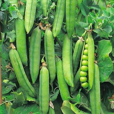VEGETABLES PEA ONWARD  360 SEEDS  (EARLY AND MAIN CROP)