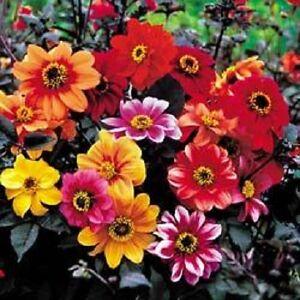 Dahlia variabilis 'Bishops Children' 30 seeds Free P&P
