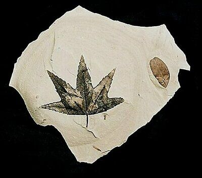 EXTINCTIONS- BEAUTIFUL, EXTREMELY SERRATED SYCAMORE LEAF FOSSIL- MUSEUM DISPLAY!
