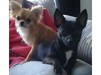 Female chihuahua 5 star home only! NO BREEDERS!!!!