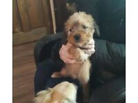 Border Terrier x Chinese crested ready for new home last boy left