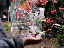 Adult and Baby Budgies For Sale Deception Bay Caboolture Area Preview