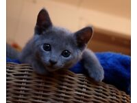 beautiful russian blue