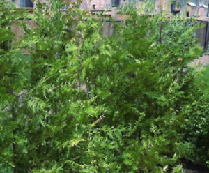 CEDARS FOR HEDGE & PRIVACY