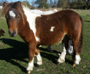 Yearling Miniature stallion