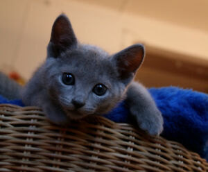 LOOKING FOR PUREBRED RUSSIAN BLUE KITTEN!!