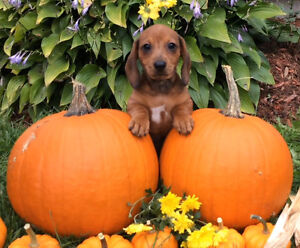 Miniature Dachshund Puppies - ONLY 1 FEMALE LEFT!