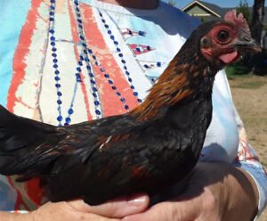 Bantam roosters for sale