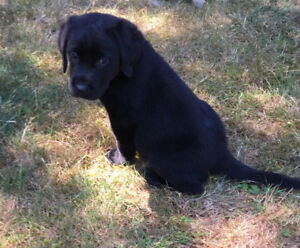 CKC Registered Black Lab Puppies