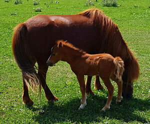 MINIATURE HORSES MUST BE PLACED THIS WEEKEND