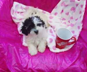 Fluffy Non~Shedding Havanese Bichon puppies ready now!