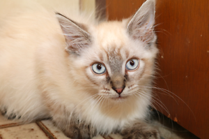 Thyme rescue KITTEN to adopt VET WORK INC Hamersley Stirling Area Preview