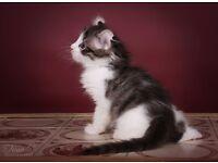 American curl kitties for sale