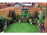 Garden plants- cordylines, Banana plants, fatsia japonica