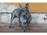 Blue-Blue Merle Girl French Bulldog