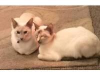 2 Siamese girls