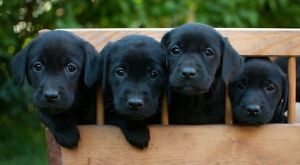 Looking for Black Lab Puppy