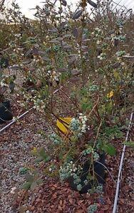 Large Earliblue Blueberry Bush Jarrahdale Serpentine Area Preview