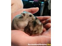 2 russian dwarf hamsters.