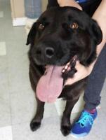 "Adult Male Dog - Labrador Retriever: ""Cassius"""