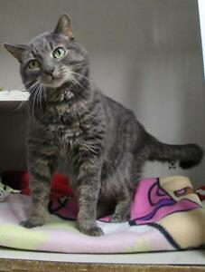 "Adult Male Cat - Domestic Short Hair: ""Smokey"""