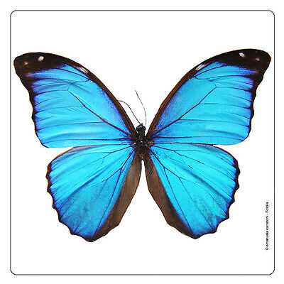 Kühlschrank - Magnet: Morpho - Schmetterling - butterfly - papillon ()