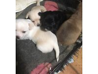 4 x Cute Chihuahua Puppies for sale ready soon.