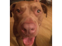 Labrador X Brandi is looking for a loving home