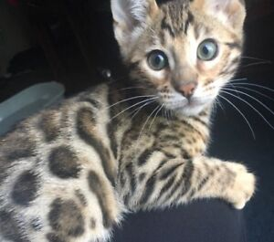 Golden brown rosetted male and female Bengal kitten