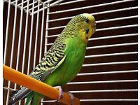 Budgie Female Green