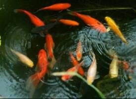 20 Goldfish for sale
