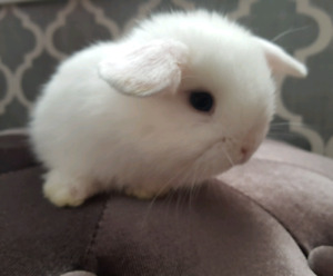 Blue eyed holland lop baby bunnies