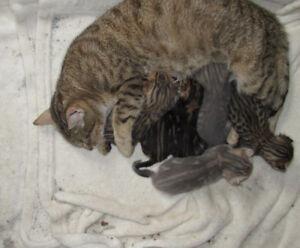 *** BENGAL Cat Kitten Cubs $700.00 GORGEOUS PUREBRED BENGAL CUBS