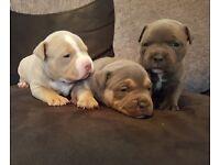 American bullys puppies