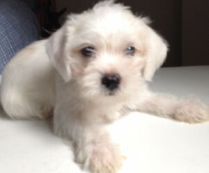 chiot puppy  male