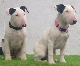 English Bull Terriers Puppies