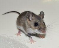 RAT - SOURIS - MULOT - EXTERMINATEURS PROFESSIONNELS