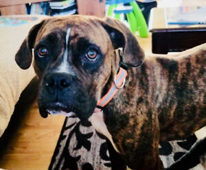 Boxer 9 mths old female puppy ready for forever home!