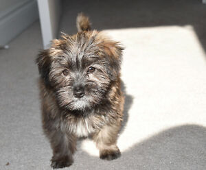 Morkie Male Wally House Training  Underway  Hlth Guaranteed