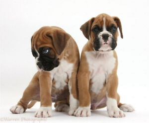Wanted: young/pup boxer