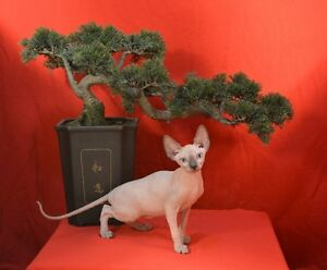 **Registered SPHYNX kittens for sale from CHAMPION LINES!**