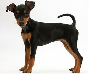 Looking for Miniature Pinscher (Min Pin)  black & tan male puppy