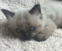 Only 2 left 8 weeks old male Ragdoll kittens