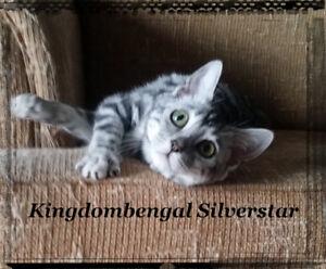 Bengal chaton femelle silver incroyable énormes rosettes sociale