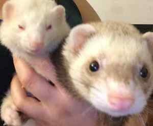 Looking For A Ferret
